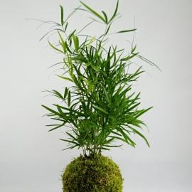 kokedama Asparagus falcatus