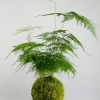 kokedama Asparagus setaceus