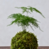 kokedama Mini Asparagus setaceus