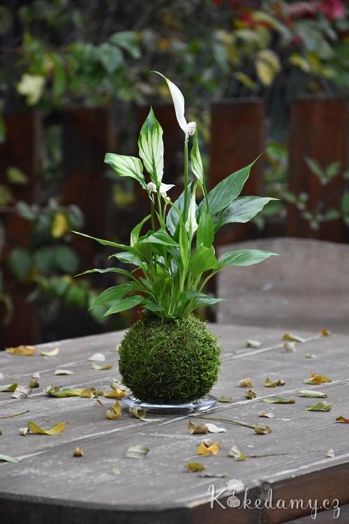 kokedama Spathiphyllum