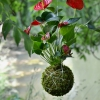 závěsná kokedama Anthurium scherzerianum