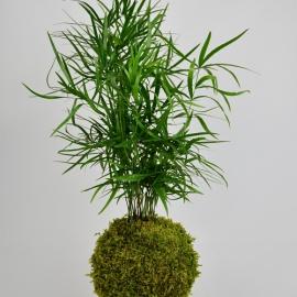 závěsná kokedama Asparagus falcatus