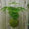 závěsná kokedama Asparagus setaceus