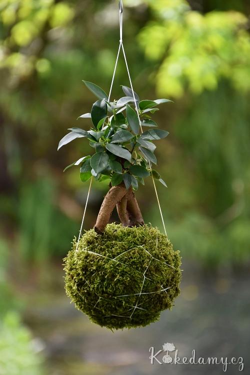 závěsná kokedama Ficus microcarpa Ginseng