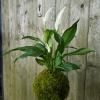 závěsná kokedama Spathiphyllum