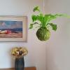 závěsná kokedama Asplenium nidus