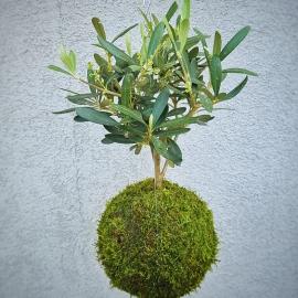 Závěsná kokedama olivovník