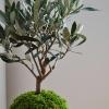 kokedama olivovník evropský
