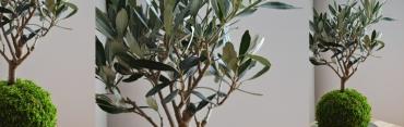 Nově kokedama oliva v našem e-shopu