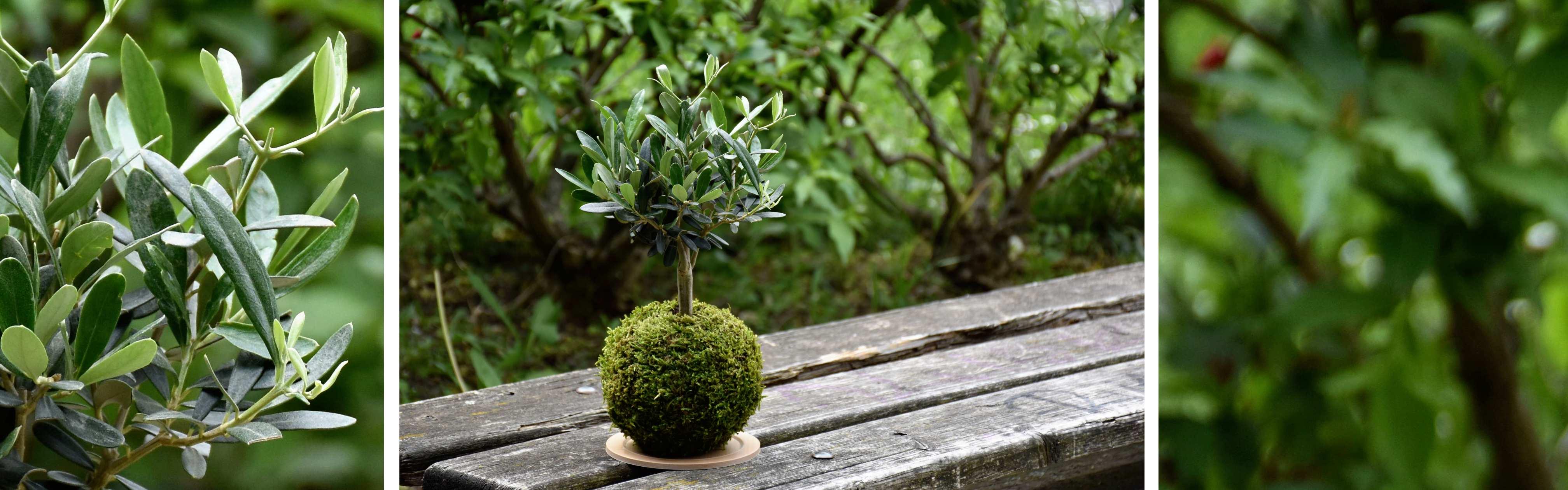 kokedama s olivou