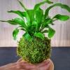 levitující kokedama Asplenium nidus