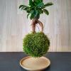 levitující kokedama Ficus microcarpa Ginseng