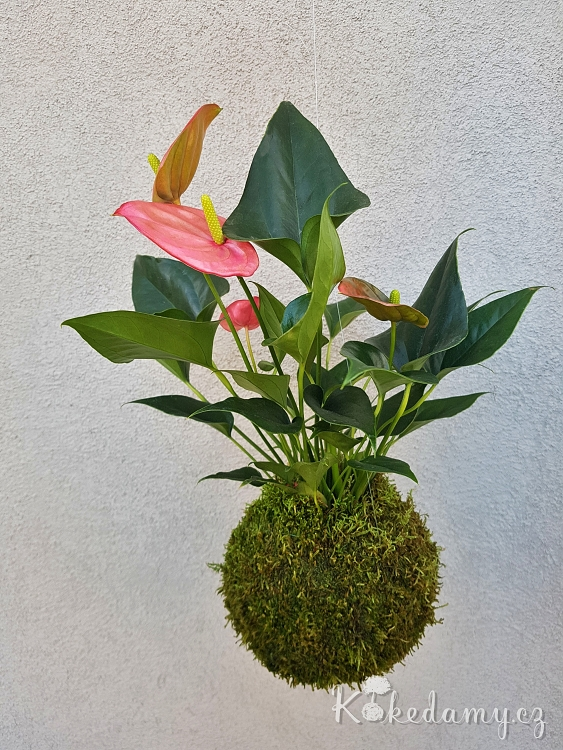růžová kokedama Anthurium scherzerianum