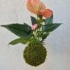 růžová závěsná kokedama Anthurium scherzerianum