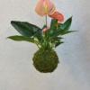 růžová závěsná kokedama antúrium