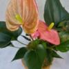 růžová kokedama Anthurium