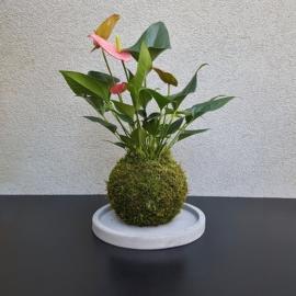 kokedama Anthurium scherzerianum