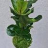 kokedama Ficus lyrata