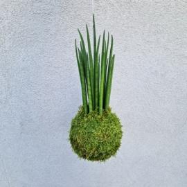 závěsná kokedama Sansevieria bacularis Mikado